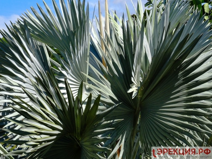 пальма cepeнoa